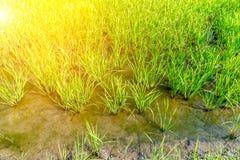 Gisement de riz sur la rizière Photographie stock libre de droits