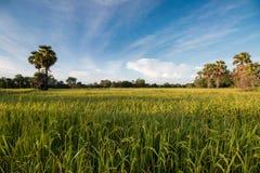 Gisement de riz sur le fond de ciel Image stock