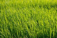 Gisement de riz sur le fond de ciel Photo libre de droits