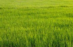 Gisement de riz sur le fond de ciel Photo stock