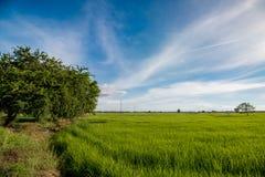 Gisement de riz sur le fond de ciel Photos libres de droits