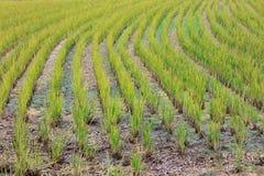 Gisement de riz sur terre Photos stock