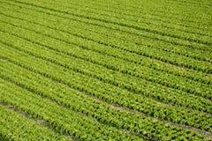 Gisement de salade Photos libres de droits