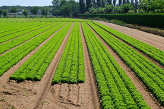 Gisement de salade image libre de droits