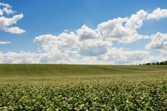 Gisement de sarrasin sur le fond de ciel bleu Photo libre de droits