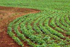 Gisement de soja Image libre de droits
