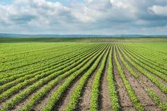 Gisement de soja photo libre de droits