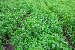 Gisement de soja Photos stock