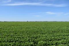 Gisement de soja Photo stock