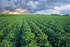 Gisement de soja avec des rangées des usines de soja Photo libre de droits