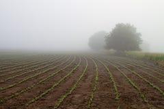 Gisement de soja dans le brouillard de début de la matinée Images libres de droits