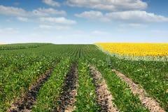 Gisement de soja et de tournesol Image libre de droits