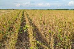 Gisement de soja mûr juste avant la récolte, paysage agricole Images libres de droits