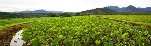 Gisement de taro dans Hanalei photographie stock libre de droits