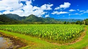 Gisement de taro, Kauai du nord Photos stock