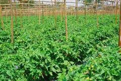 Gisement de tomate Images libres de droits