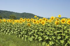 Gisement de tournesol Images stock