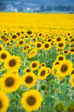 Gisement de tournesol Image stock
