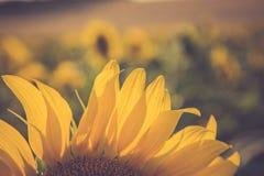 Gisement de tournesol au coucher du soleil Image libre de droits