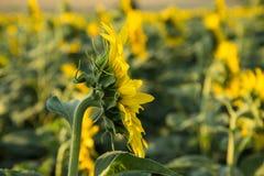 Gisement de tournesol au coucher du soleil Photographie stock libre de droits