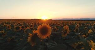 Gisement de tournesol au coucher du soleil, tournesols de floraison Vue aérienne panoramique de bourdon banque de vidéos