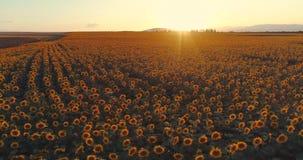 Gisement de tournesol au coucher du soleil, tournesols de floraison Vue aérienne panoramique de bourdon clips vidéos