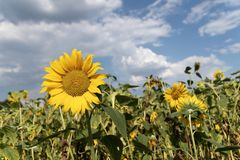 Gisement de tournesol avec le ciel bleu photos libres de droits