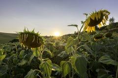 Gisement de tournesol dans le coucher du soleil Photos libres de droits