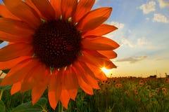 Gisement de tournesol dans le temps de coucher du soleil photos stock