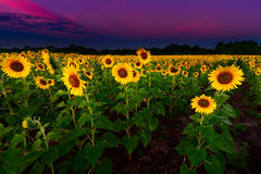 Gisement de tournesol de PreDawn Photo stock