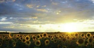 Gisement de tournesol en été au coucher du soleil Les beaux nuages au-dessus du tournesol mettent en place au coucher du soleil L Images stock