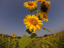 Gisement de tournesol en fleur Photo libre de droits