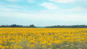 Gisement de tournesol enregistré tout en conduisant une voiture Paysage panoramique de nature Champ agricole jaune avec la ligne  banque de vidéos