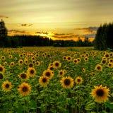 Gisement de tournesol et beau coucher du soleil photographie stock libre de droits
