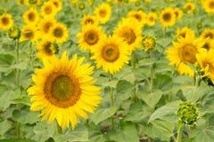 Gisement de tournesol Fond floral lumineux de vert jaune croissance image stock