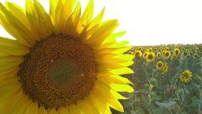 Gisement de tournesol pendant le coucher du soleil, inclinaison vers le haut de caméra, beau backgound stupéfiant banque de vidéos