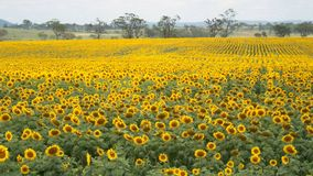 Gisement de tournesol, Queensland Australie Photos stock