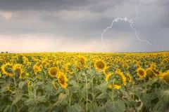 Gisement de tournesol sous le ciel orageux avec la foudre Image libre de droits