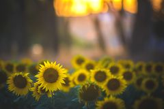 Gisement de tournesol sur le coucher du soleil Photos libres de droits