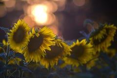 Gisement de tournesol sur le coucher du soleil Photo libre de droits