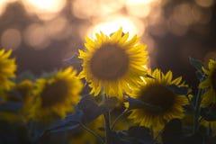 Gisement de tournesol sur le coucher du soleil Photographie stock