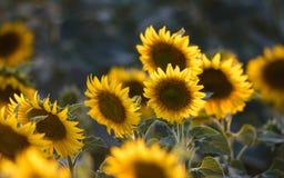 Gisement de tournesol sur le coucher du soleil Photo stock