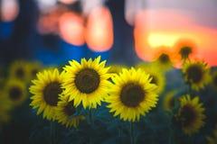 Gisement de tournesol sur le coucher du soleil Images stock