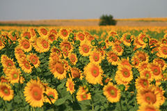 Gisement de tournesols Photos stock