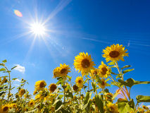 Gisement de tournesols Photographie stock