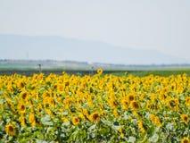 Gisement de tournesols l'été sur la floraison Photos stock