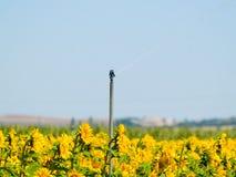 Gisement de tournesols l'été sur la floraison Photographie stock