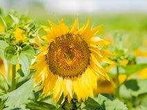 Gisement de tournesols l'été sur la floraison Images libres de droits