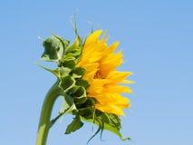 Gisement de tournesols l'été sur la floraison Images stock