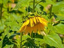 Gisement de tournesols l'été sur la floraison Photo libre de droits